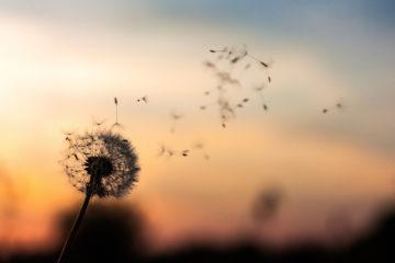 dandelion-content